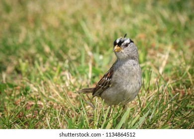White crowned sparrow, zonotrichia leucophrys, is walking on the ground in Seaside, Oregon.