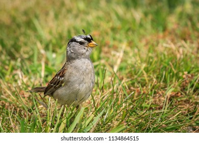 A white crowned sparrow, zonotrichia leucophrys, is walking on the ground in Seaside, Oregon.