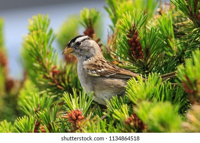 A white crowned sparrow, zonotrichia leucophrys, is perched on a plant in Seaside, Oregon.