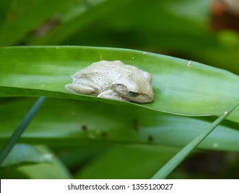 White Cuban tree frog resting on a bromeliad leaf, invasive species