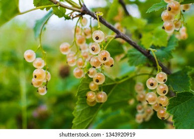 white currant on a Bush in a natural background