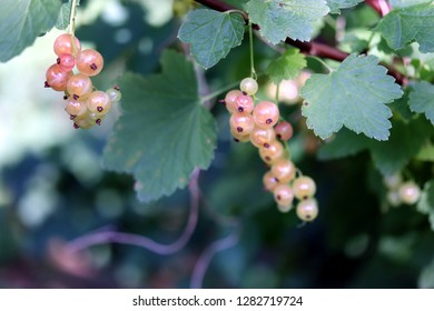 White currant ( ribes gracile )called pink currant or rose currant. Ribes
