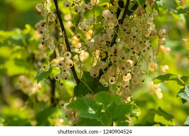 White currants on bush branch. White currants on bush. White currants in garden. Summer berries in Latvia.
