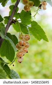 White currants on the bush in the garden.