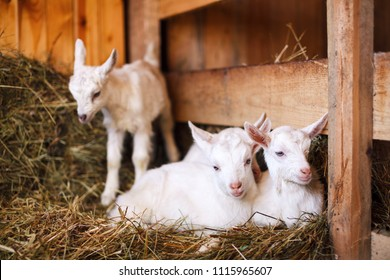 White and cute baby goats in a barn. Little goats in the hay.