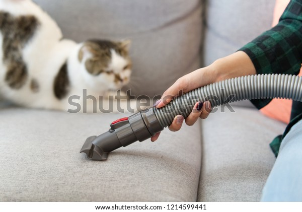 White cute cat is looking at vacuum cleaner of her owner while she is cleaning the sofa due to cat hair dropped on the sofa. Happy cleaning and cute cat concept.