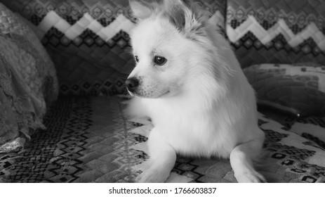 white cute dog blackwhite long fur