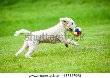 White Cute Dog Running Ball Toy Stock Photo Edit Now 687527098