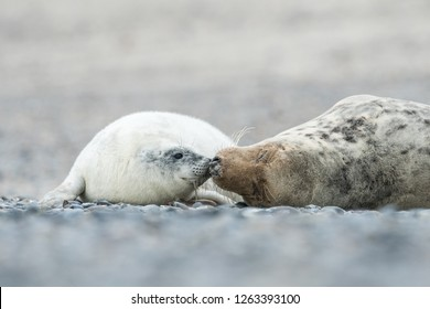 White and cute Grey seal pup in the natural environment with mother, Halichoerus grypus, Helgoland, North Sea