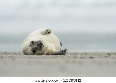 White and cute Grey seal pup in the natural environment, Halichoerus grypus, Helgoland, North Sea