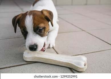 White and cute Jack Russell puppy