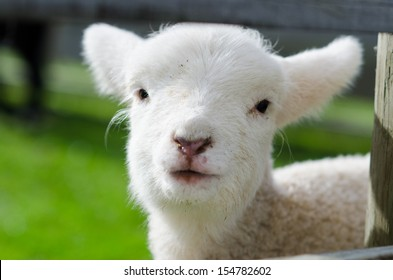 A white cute lamb