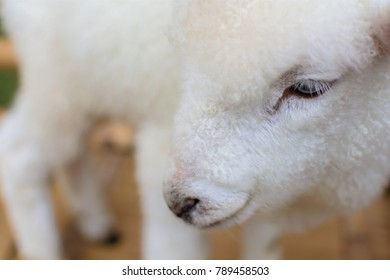 White cute Lamb Close up