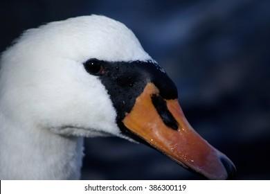 white Cygnus olor mute swan portait