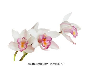 white Cymbidium orchid branch on white background