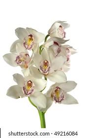 white cymbidium orchid flower isolated on white