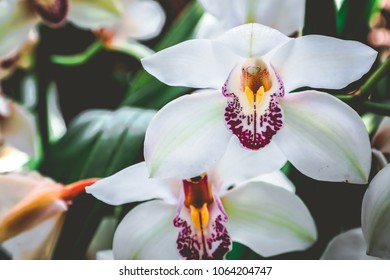 White Cymbidium Orchids in Bloom