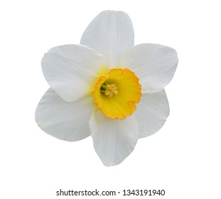 A white daffodil flower isolated white