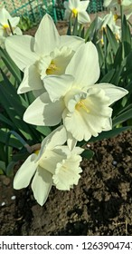 "White Daffodils ""Mount Hood"". Snow-White Trumpet Narcissus. Narcissus flower bed."