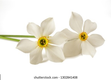 White daffodils (Narcissus poeticus) isolated on white background