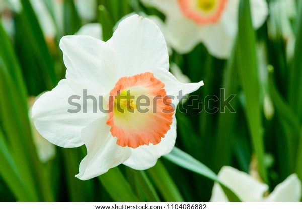 White daffodils (narcissus) or suisen outdoors in the garden