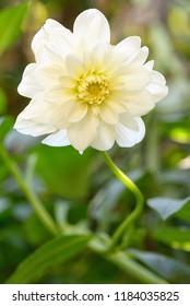 White Dahlia flower in garden