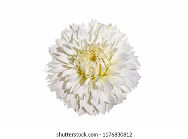 White dahlia flower isolated on white background