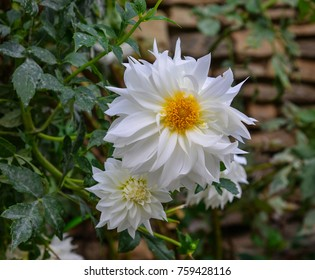 White Dahlia flowers at botanic garden in spring time.