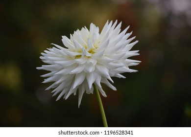 White dahlia in park