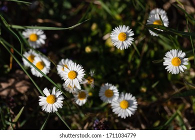 White Daisie on green grass spring time - Shutterstock ID 1711034779