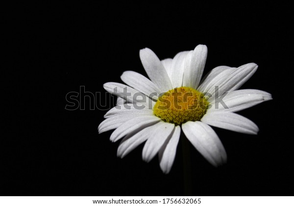 white-daisies-against-black-background-6