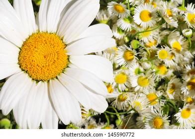 White daisies background