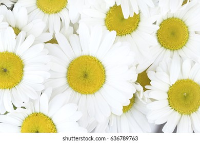 The white daisies close up