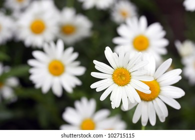 white daisies covered with rain-drops on dark background
