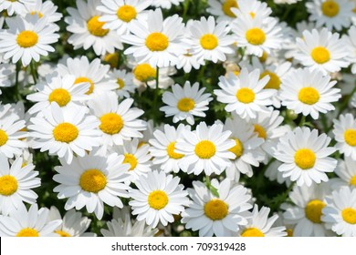 White daisies flower on green meadow