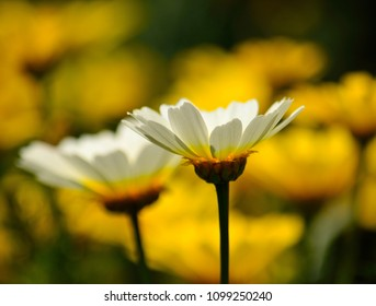 White daisies in foreground and unfocused yellow background