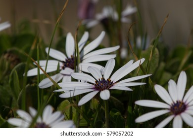White Daisies, Hermanus, South Africa