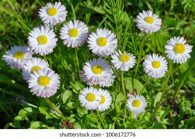 White daisies (lat. Bellis perennis) in the garden