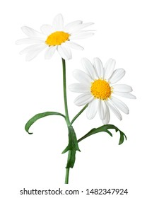 White Daisies (Marguerite) isolated on white background, including clipping path.