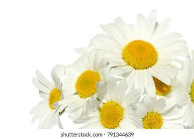 white daisies on white background. white flowers on a white background