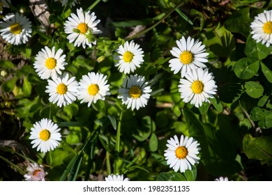white daisies on a background of grass - Shutterstock ID 1982351135