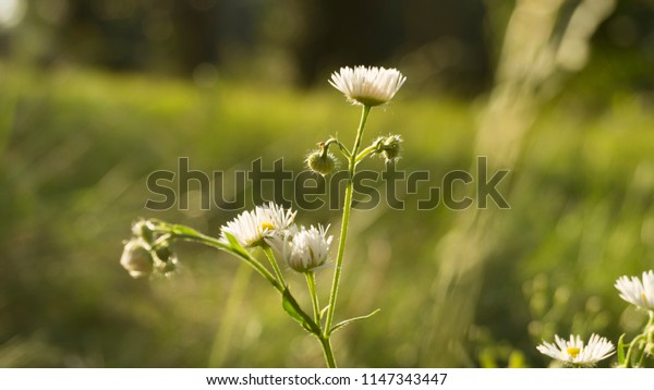 White daisies on a background of green foliage, close-up, blurred bokeh background. Vegetable macro background