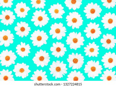 White daisies on cyan background flat lay top view - Bright pop flower pattern on light blue  - Overhead image -