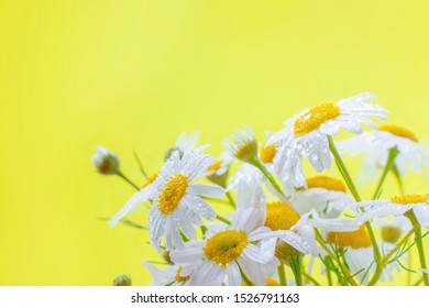 white daisies on light smoky yellow background close up background