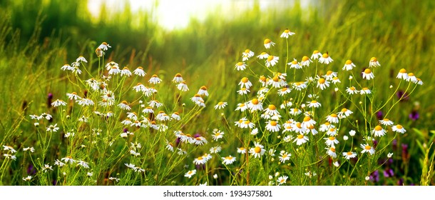 White daisies on a meadow among thick grass, panorama