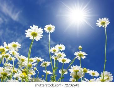 white daisies on sun