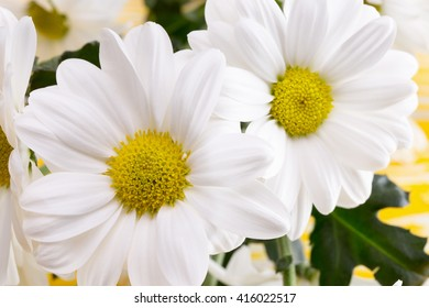 white daisies on the yellow wooden background