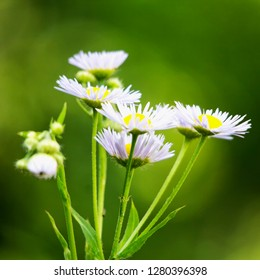 White daisies seen from side, square image