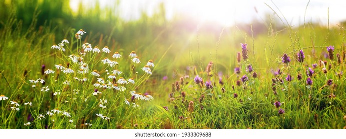 White daisies and wild flowers on the meadow in sunny weather, panorama