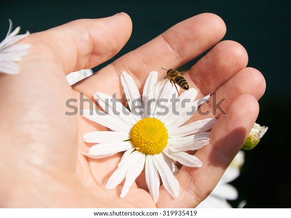 White daisy and bee in a hand